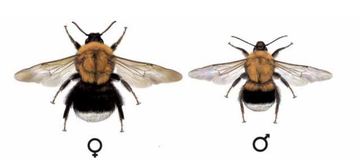 Čmeláci PLUS - Čmelák rokytový (Bombus hypnorum)