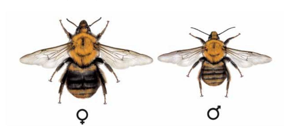 Čmeláci PLUS - Čmelák rolní (Bombus pascuorum)