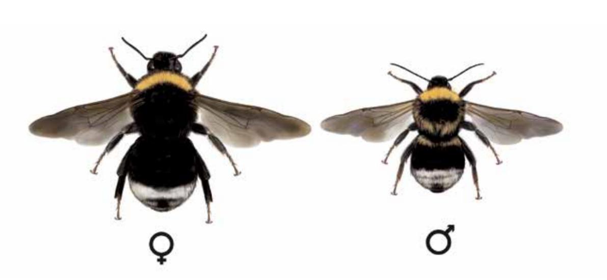 Čmeláci PLUS - Pačmelák český (Psithyrus bohemicus)