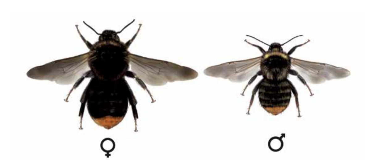 pačmelák cizopasný - Psithyrus rupestris