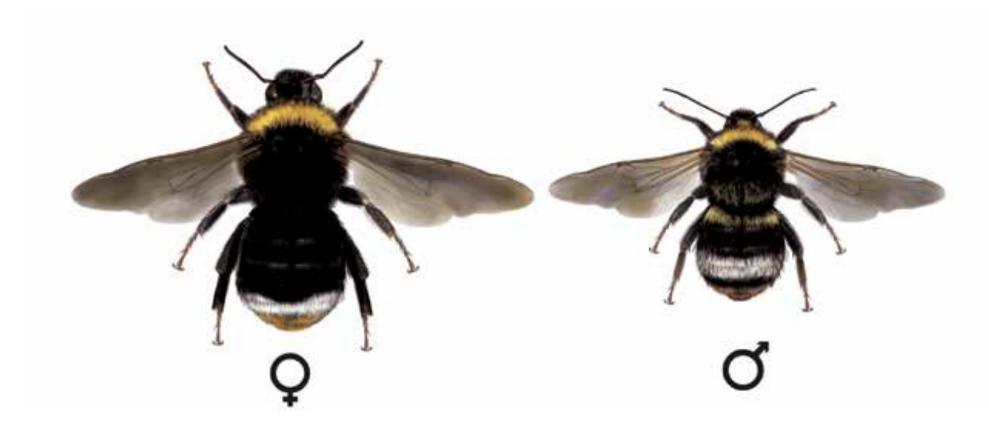 pačmelák lesní - Psithyrus sylvestris