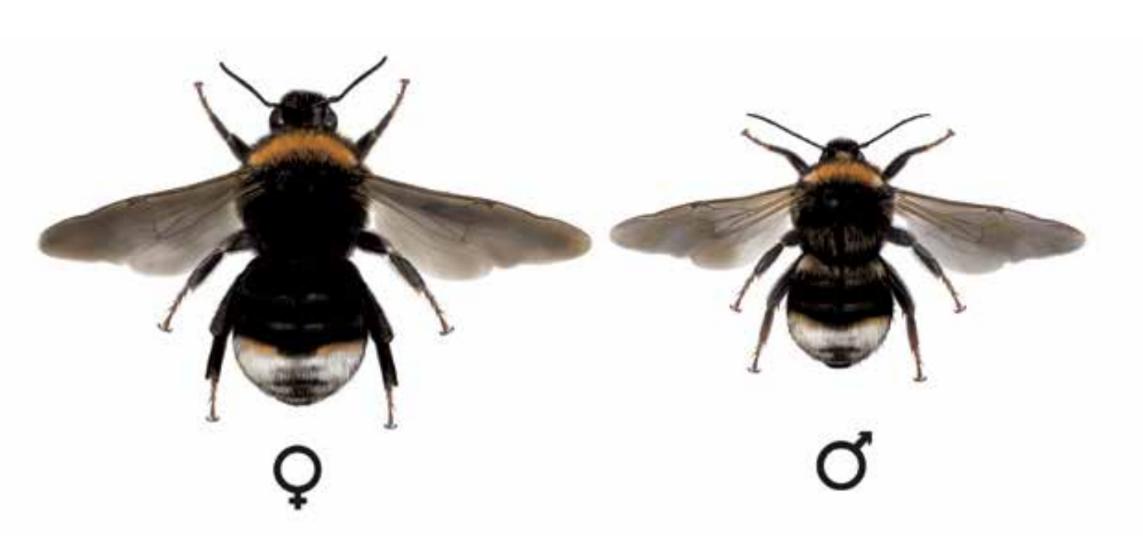 pačmelák panenský - Psithyrus vestalis
