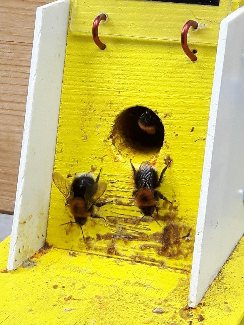 Čmeláci PLUS - Otevřená záklopka ochranné klapky jako otevřená cesta pro parazity