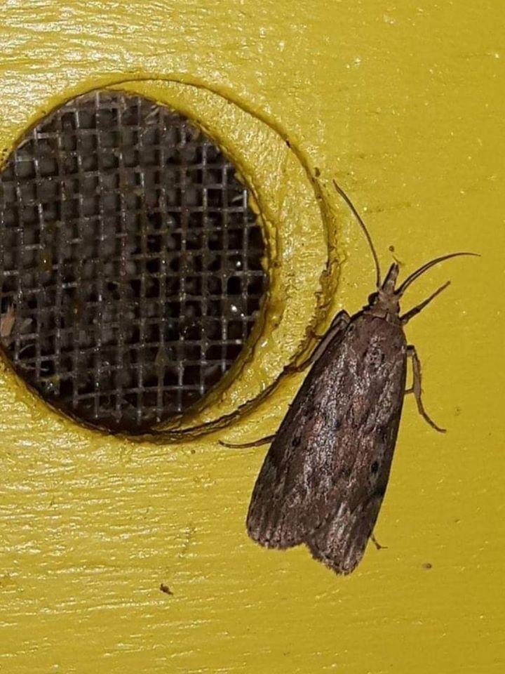 Čmeláci PLUS - Zavíječ čmeláčí (Aphomia sociella) na větracím otvoru úlku