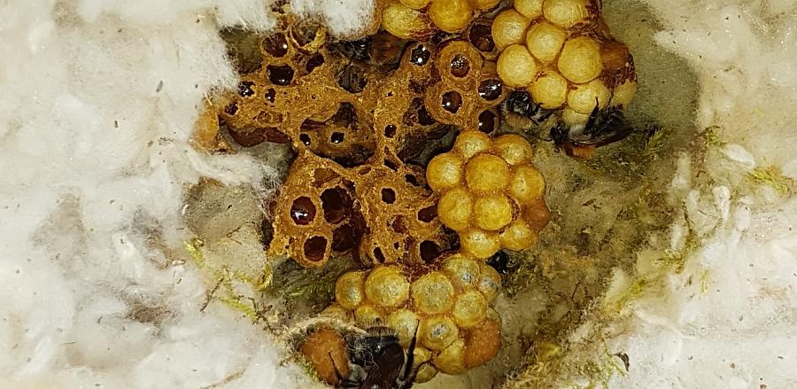 zdravé silné čmeláčí hnízdo čmeláka rolního