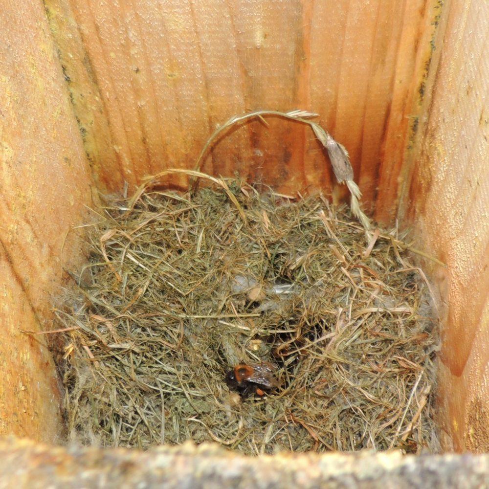 Čmeláci PLUS - Hnízdo čmelaků rokytových (Bombus hypnorum) v ptačí budce
