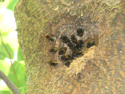 Čmeláci PLUS - Hnízdo čmeláků rokytových (Bombus hypnorum) v ptačím hnízdě v dutině stromu