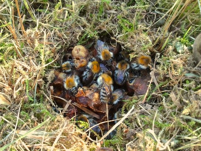 Čmeláci PLUS - Hnízdo čmeláků rolních (Bombus pascuorum) v hromádce trávy