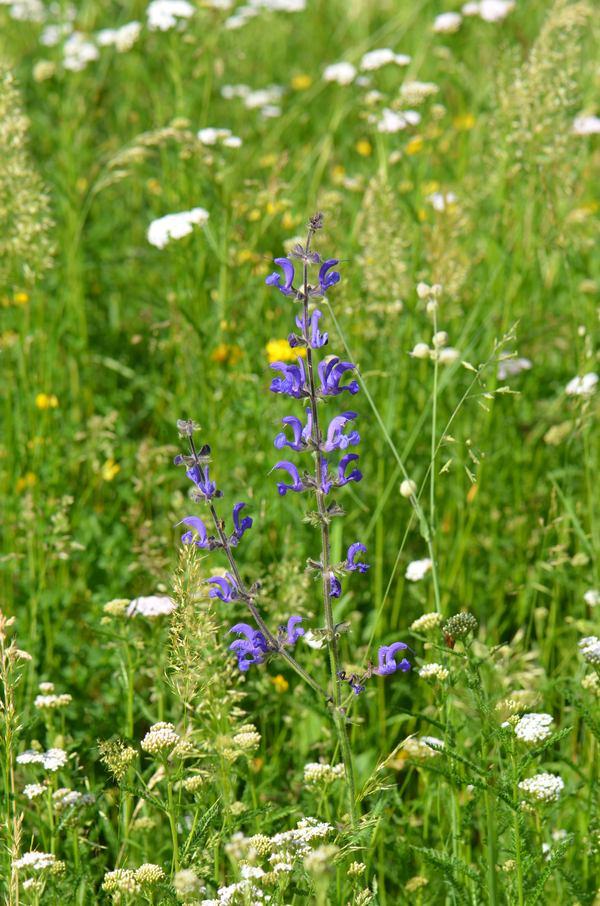 šalvěj luční v květinové louce
