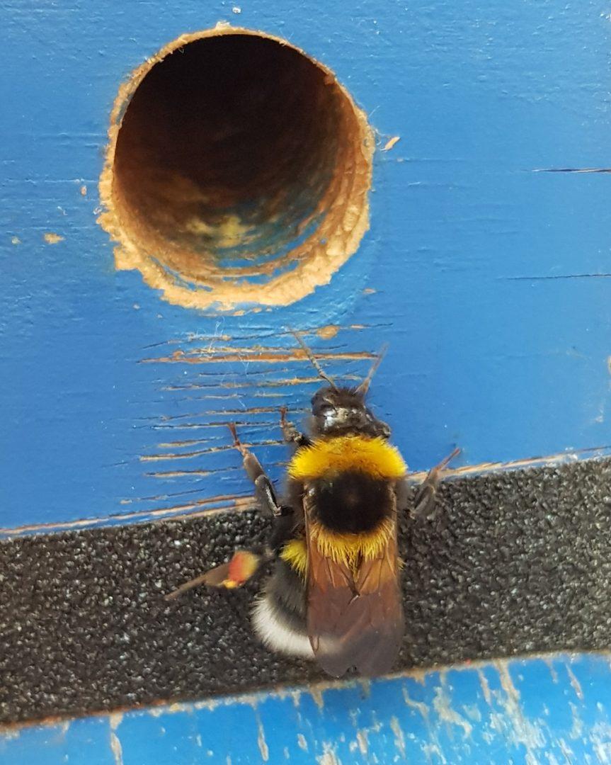 Čmeláci PLUS - Dělnice čmeláka zahradního (Bombus hortorum) u vletového otvoru úlku
