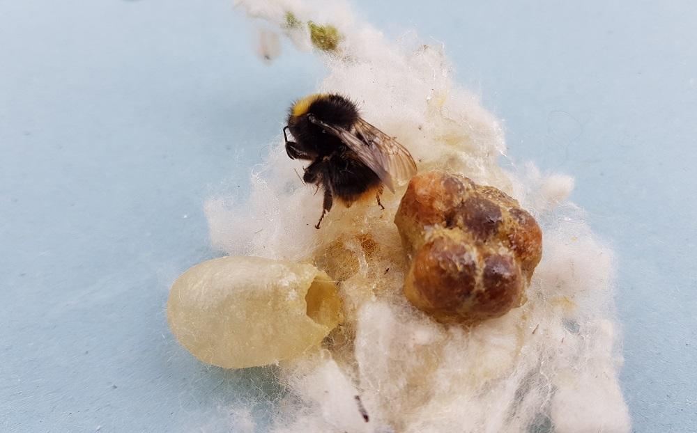 Čmeláci PLUS - Matka čmeláka lučního (Bombus_pratorum) s voskovým pohárkem na nektar a prvními kokony