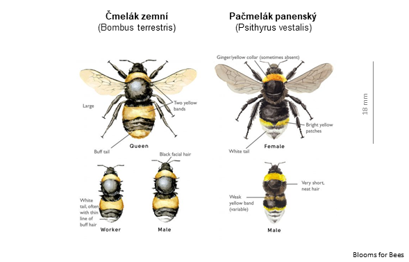 Čmeláci PLUS - Čmelák zemní x Pašmelák panenský