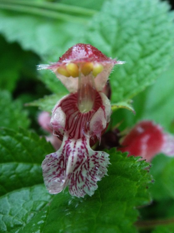 Lamium orvala detail květu
