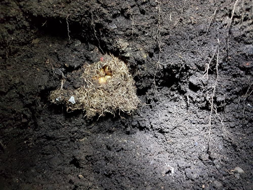 Čmeláci PLUS - Evakuace hnízda - nález hnízda