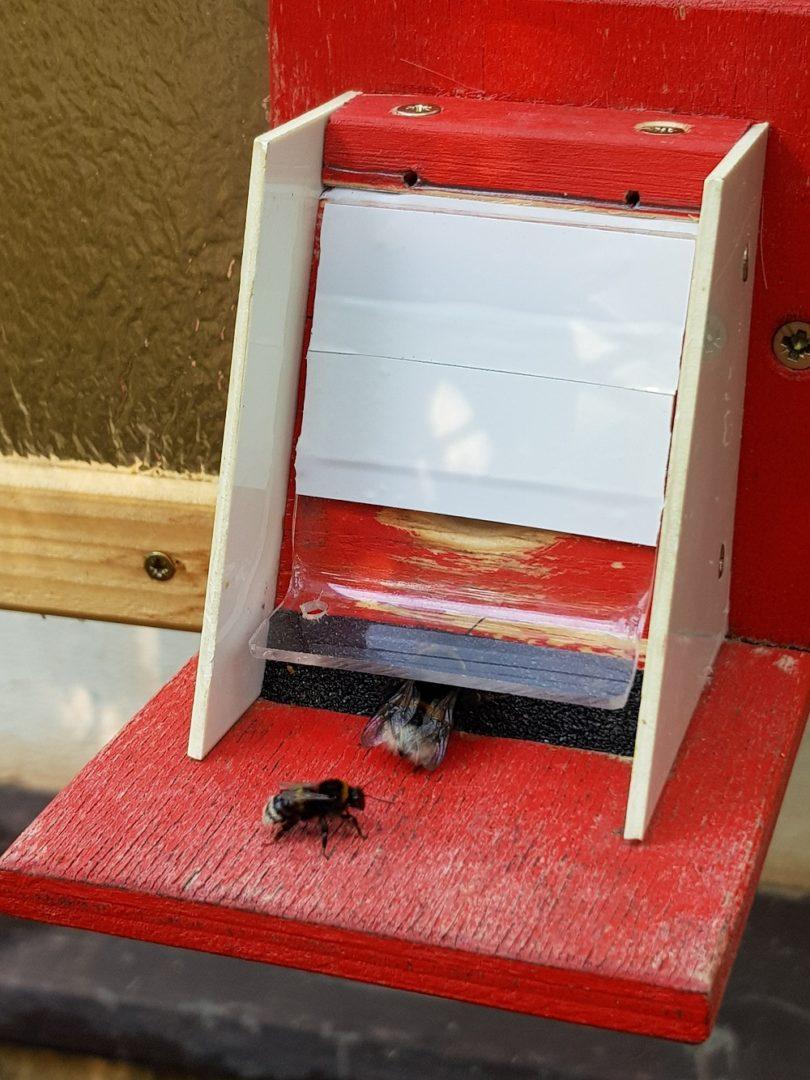 Čmeláci PLUS - Evakuace hnízda - druhý den - první dělnice se učí procházet ochrannou klapkou