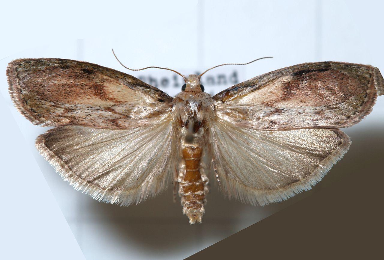Čmeláci PLUS - Zavíječ cizopasný (Aphomia sociella) - samec