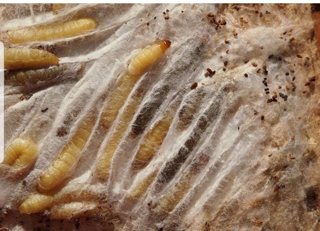 Čmeláci PLUS - Zavíječ cizopasný (Aphomia sociella) - housenky v zámotcích