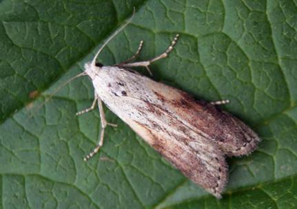 Čmeláci PLUS - Zavíječ cizopasní (Aphomia sociella) - samec