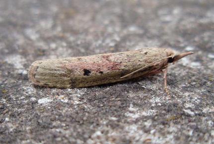 Čmeláci PLUS - Zavíječ cizopasní (Aphomia sociella) - samice