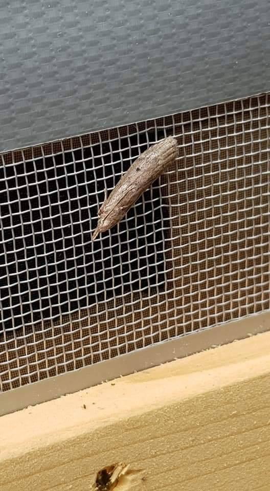 Čmeláci PLUS - Zavíječ cizopasný (Aphomia sociella) - samice
