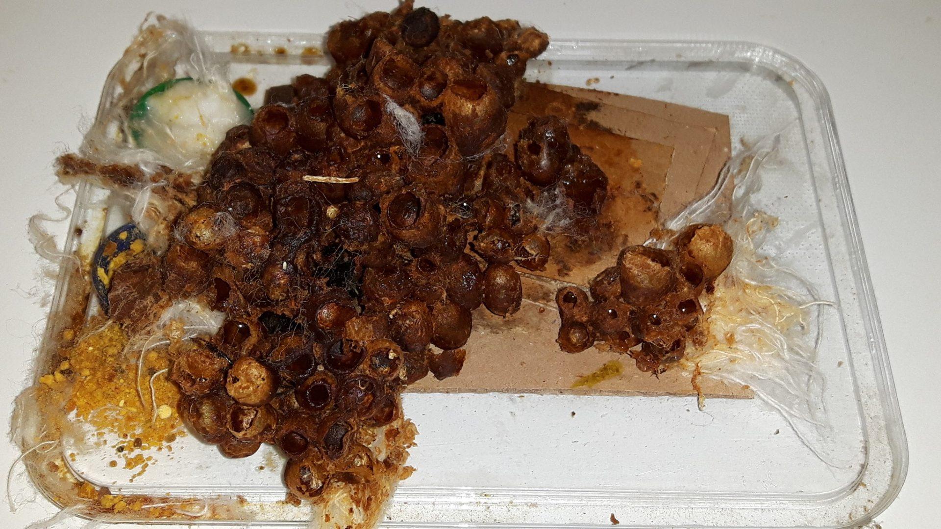 Ćmeláci PLUS - Základ hnízda a první vosková pouzdra a kokony