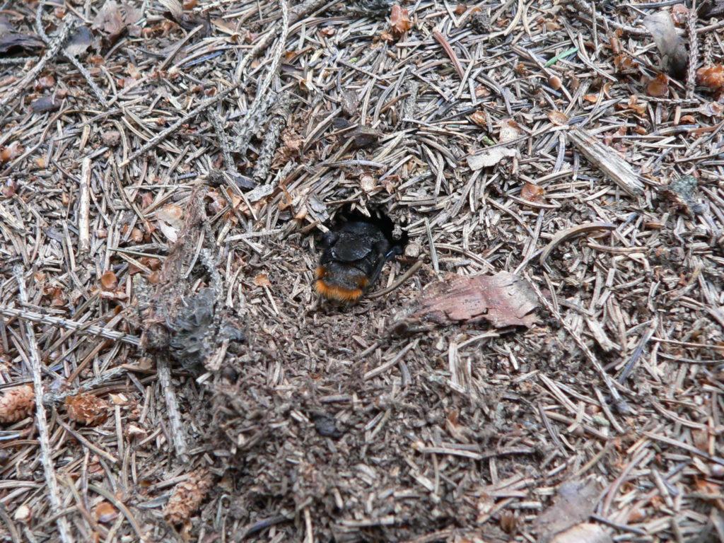 Matka pačmeláka cizopasného Bombus Rupestris při přípravě zimoviště