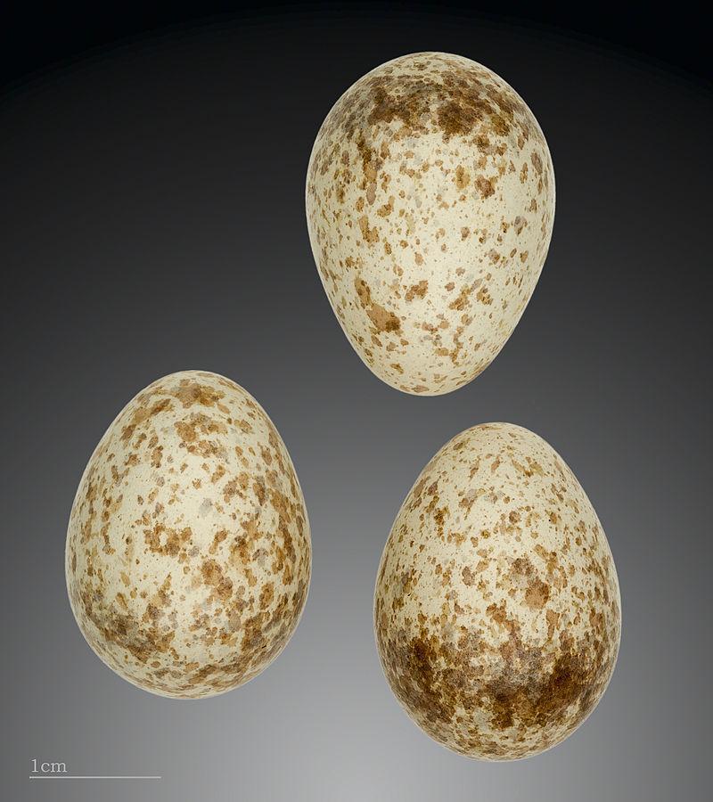 Čmeláci PLUS - Ťuhýk šedý vejce (Lanius excubitor) vejce