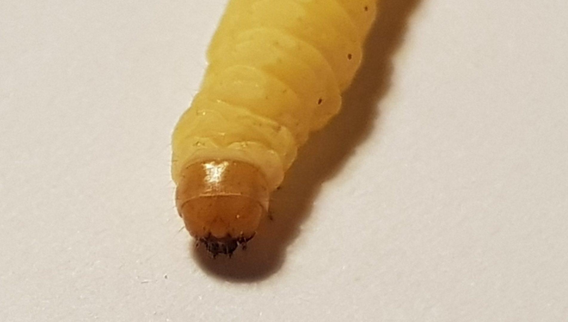 Čmeláci PLUS - Zavíječ cizopasný (Aphomia sociella) housenka