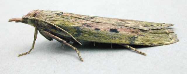 Čmeláci PLUS - Zavíječ cizopasný (Aphomia sociella)