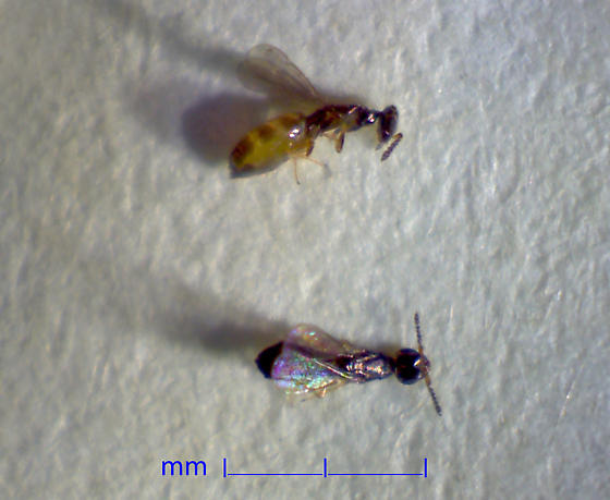 meláci PLUS - Melitobia acasta - Foto Gerald S Wegner
