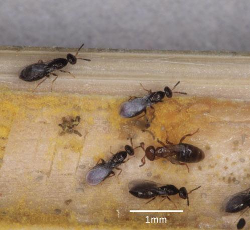 Čmeláci PLUS - Melittobia acasta - Foto Dr Paul Westrich