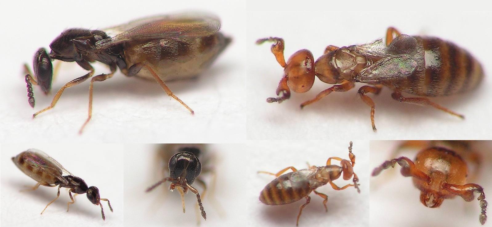 Čmeláci PLUS - Melittobia acasta - Foto www galerie insecte org
