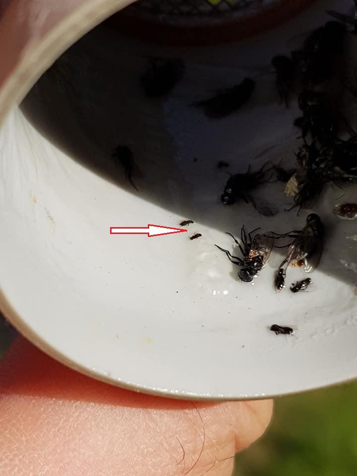 Čmeláci PLUS - Melittobia acasta - Samičky zachycené v lepivé pasti