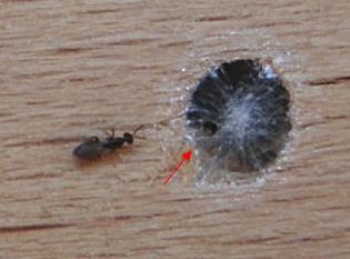 Čmeláci PLUS - Melittobia acasta - Samice u hnízdní komůrtky hostile - www wildbienenstand neuhof de