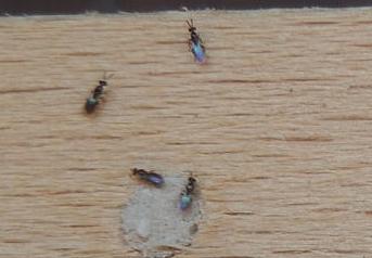 Čmeláci PLUS - Melittobia acasta  - Samice  hledají cestu do hnízdní komůtky hostitele- www wildbienenstand neuhof de