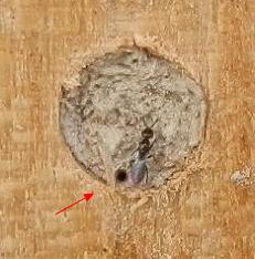 Melittobia acasta - Samice u otcoru do zavíčkované komůrky Osmia Cornuta - www wildbienenstand neuhof de