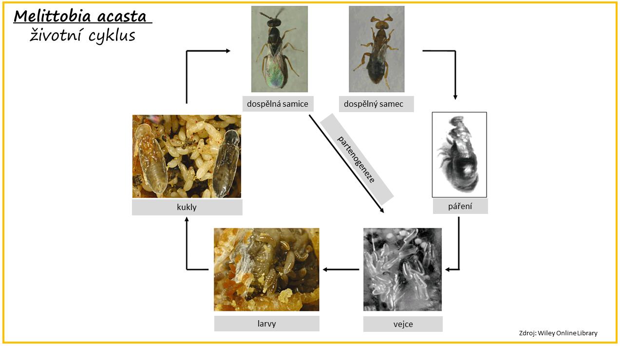 Čmeláci PLUS - Melittobia acasta - životní cyklus