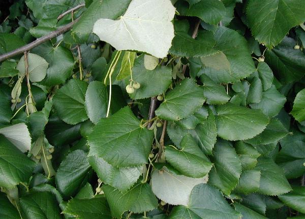 Čmeláci PLUS - Lípa stříbrná - Tilia tomentosa - Wikipedia