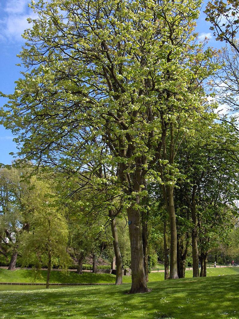Čmeláci PLUS - Lípa velkolistá (Tilia platyphyllos) - Botany.CZ