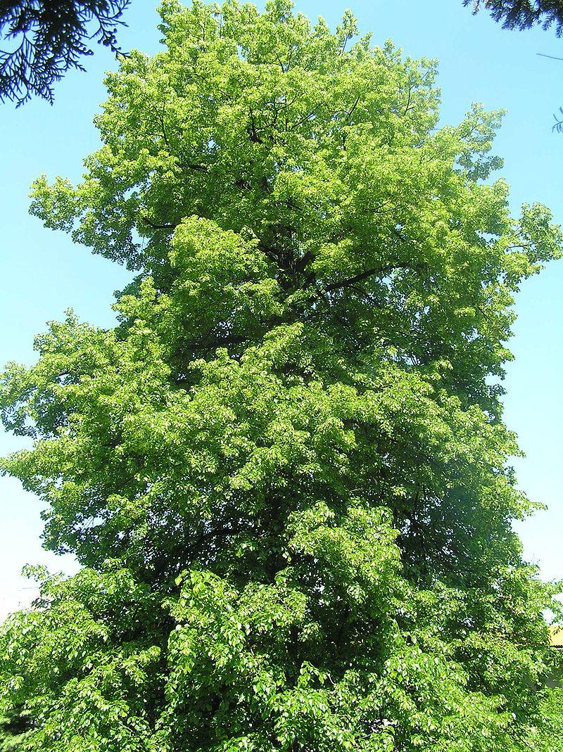 Čmeláci PLUS - Lípa zelená (Tilia euchlora) - Wikipedia