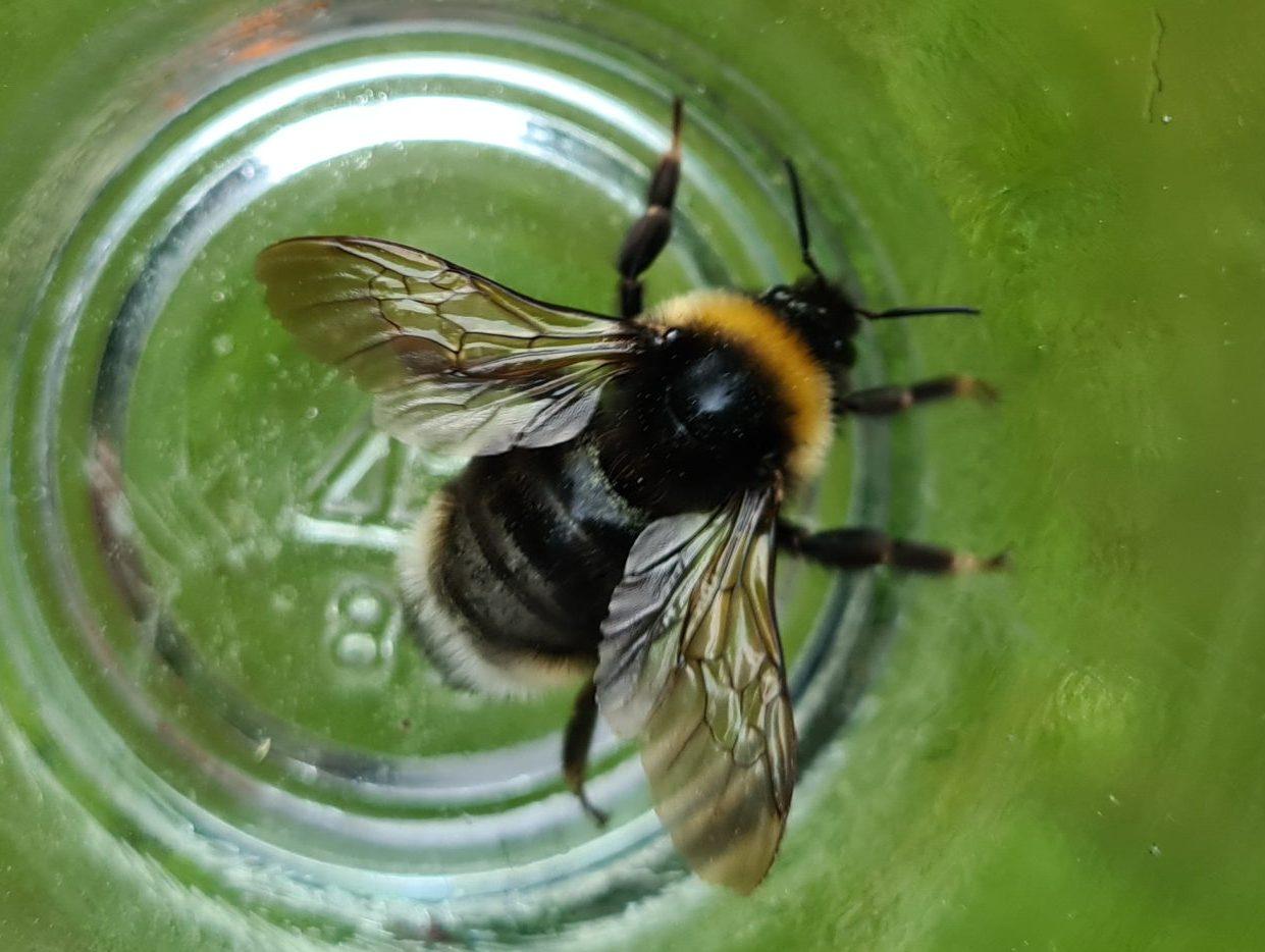 Čmeláci PLUS - Pačmelák český (Bombus bohemicus ) - samice (female) - Ondřej Hercog - 2021 06 05