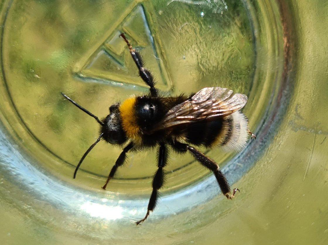 Čmeláci PLUS - Pačmelák panenský (Bombus vestalis) - samec (male) - Ondřej Hercog 2021 07 24