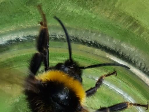 Čmeláci PLUS - Pačmelák panenský (Bombus vestalis) - samec (male)- tykadla Ondřej Hercog 2021 07 25