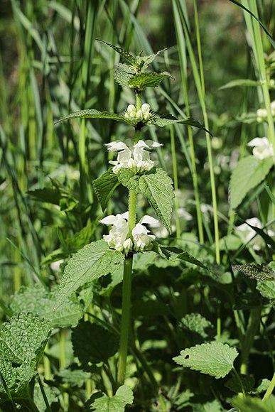 Čmeláci PLUS - Hluchavka bílá - Foto Wiki