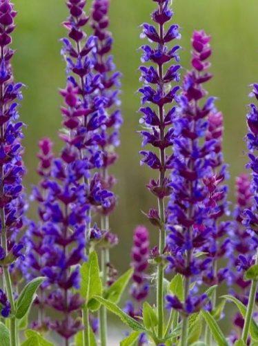 Čmeláci PLUS - Šalvěj lékařská - Foto Naše krásná zahrada